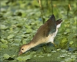 Florida;Southeast-USA;Purple-Gallinule;Juvenile;Gallinule;Porphyrula-martinica;o